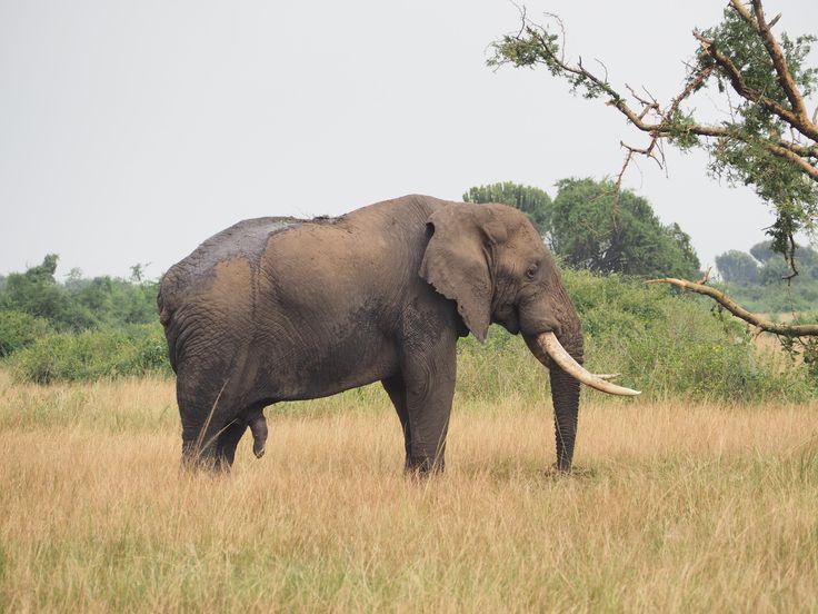 A mature male elephant, Queen Elizabeth National Park, Uganda