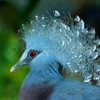 Fächertaube, Goura victoria, Tropischer Regenwald, West Papua, Neuguinea, Indonesien