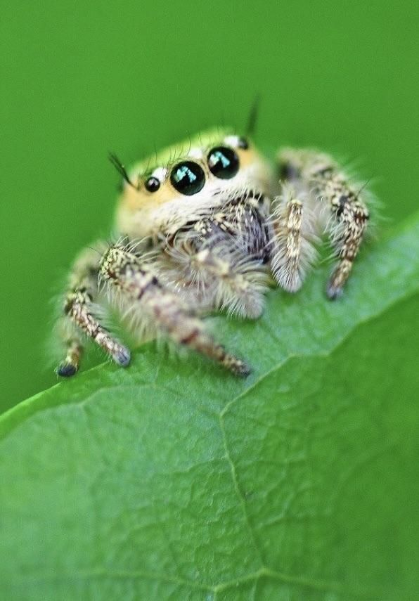 Pin by SevienGlacelle on Pets | Jumping spider, Pet spider