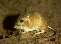 Family Heteromyidae Ord's Kangaroo rat: native to western North America, specifically the Great Plains and the Great Basin; has a 5th toe on its hind feet, which distinguishes it from other species; bicolored with gold-brown dorsal hair and a white stomach; live in the shrublands in CO