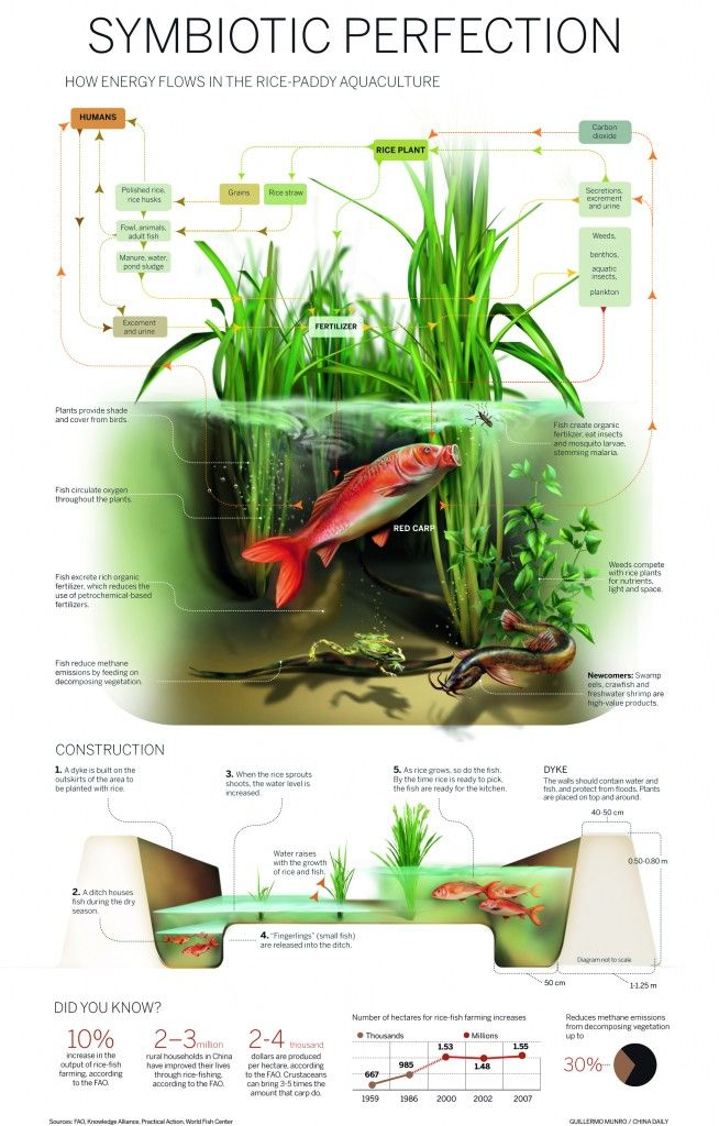 infographic ricepaddy aquaculture information is beautiful