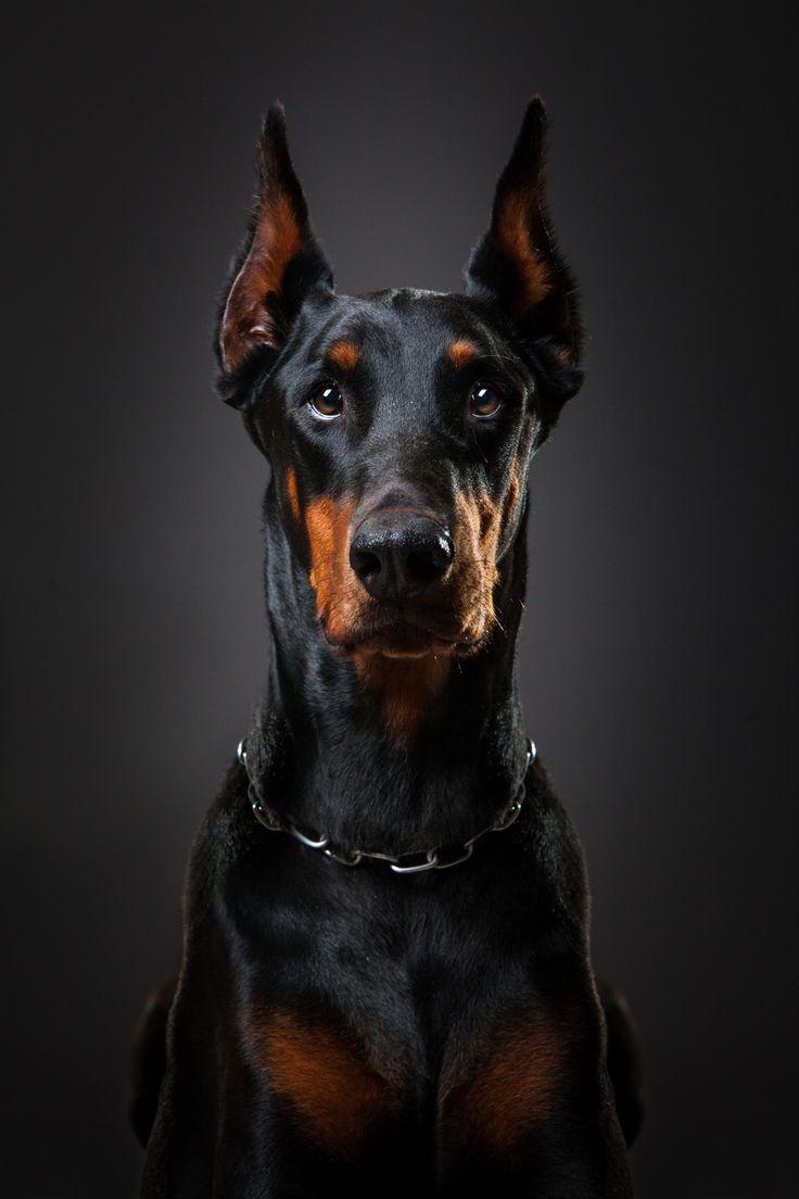 Doberman Orpheus+by+Lényfotó+pet+photography+on+500px
