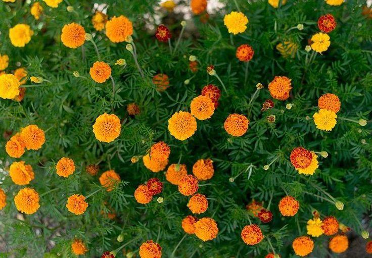 Marigold - Petite Mix - Pinetree Garden Seeds - Flowers
