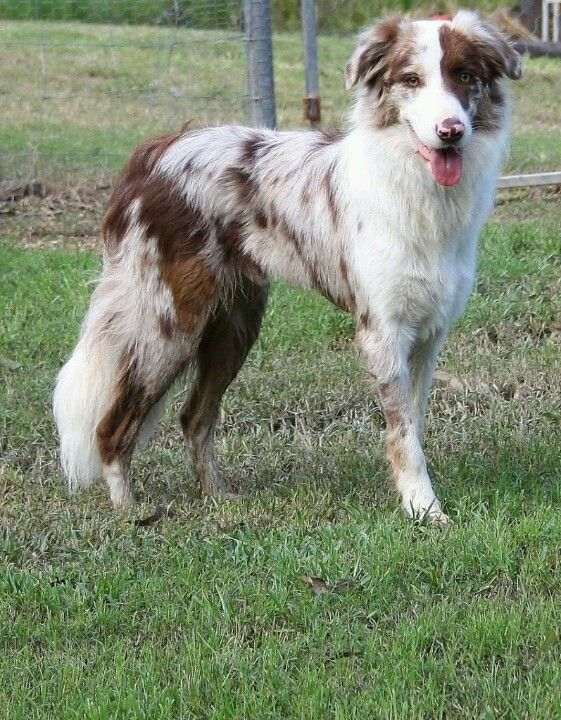 Beautiful red merle border collie