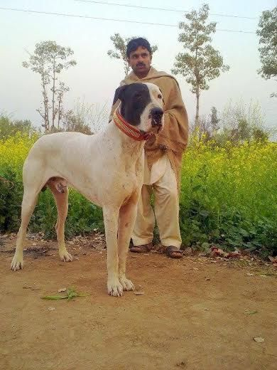 Good Natured Big Dogs
