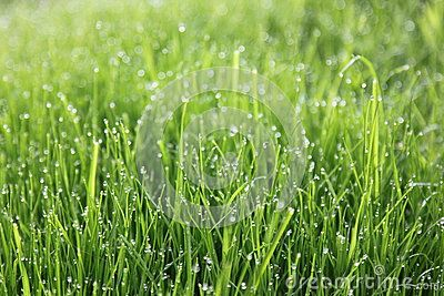 Fresh green grass, lawn with dew on leaves and in sunlight