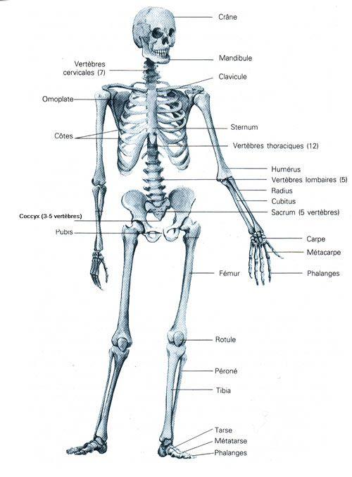 Les principaux os du corps humain (206) permettant le mouvement.