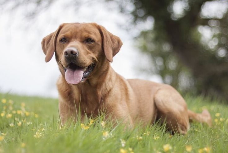 Red Fox Lab Breed Information Price, Temperament & Facts
