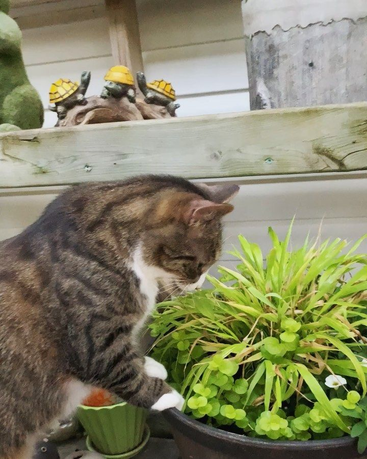 42 Likes 3 Comments Chirpy Cats Chirpycats On Instagram George Is Among The 30 Of Cats That Doesn T React To Catnip But Cat Safe Plants Cat Safe Cats