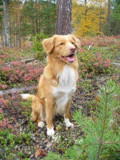 Nova Scotia Duck Tolling Retriever - very smart, trainable, medium-sized dog with a hardy winter coat for rough weather conditions. Mt. Hood Meadows is training their new pup as an avalanche search and rescue guide.