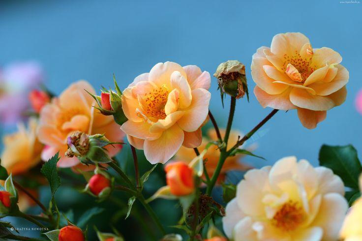 Żółte, Róże, Kwiaty