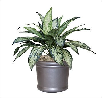 Silver Queen replica office plants for indoor use