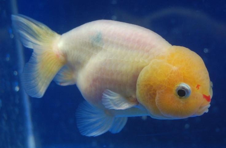 Lionhead goldfish goldfish especies de peces peces for Criadero de peces goldfish