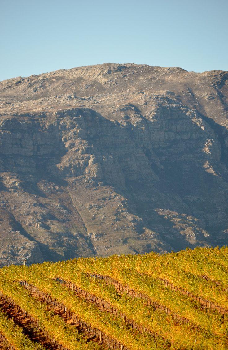 Uva Mira wine estate vineyards against the slopes of the Helderberg mountain close to Somerset West - Cape Town. #uvamira #somersetwest #capetown #vineyards