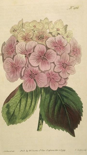 """""""Garden Hydrangea"""""""