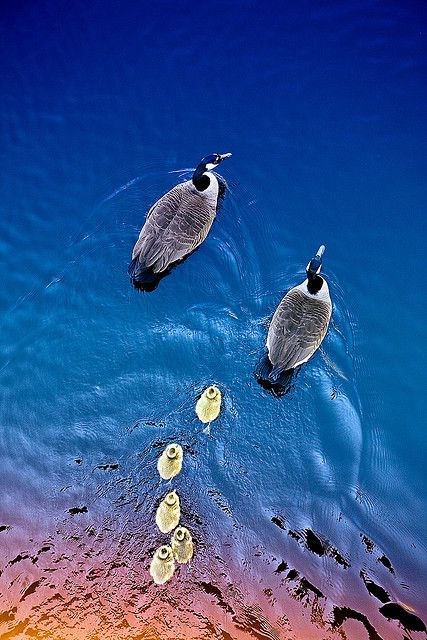 ❥ Geese Family. Photographer: Eric Rolph.