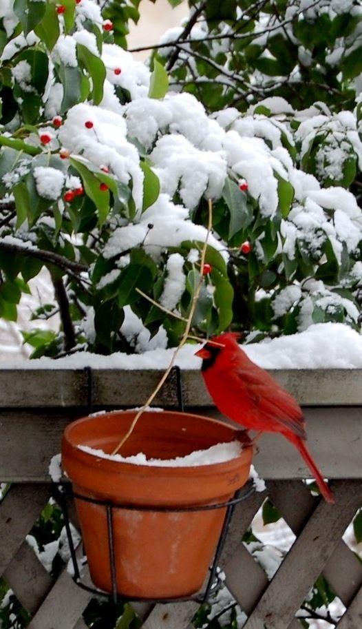 1133 Best Cardinals My Favorite Bird Images On Pinterest Cardinal Birds Beautiful Birds And