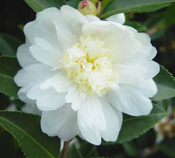 Camellia sasanqua 'Winter's Snowman' - A superb evergreen shrub which will be still flowering at Christmas! - Mercurelli's Garden Design top 5 Christmas choices