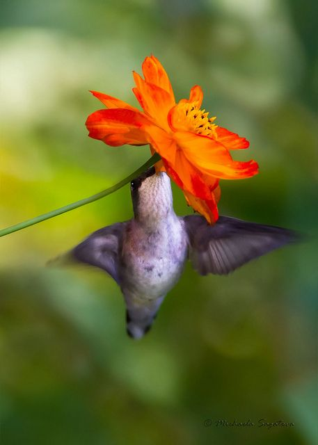 Humming Bird                                                                                                     Did you know that the humming bird can flap its tiny wings 60 times a SECOND?!?!