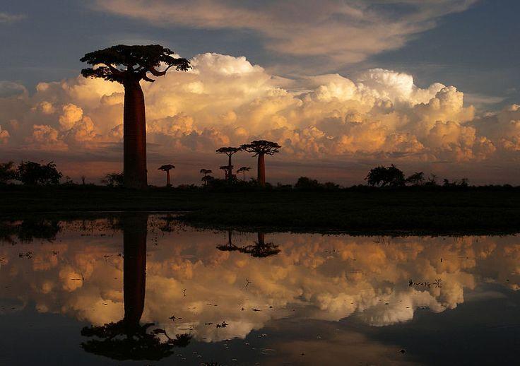 14 photos qui montrent la splendeur des baobabs GEANTS de Madagascar