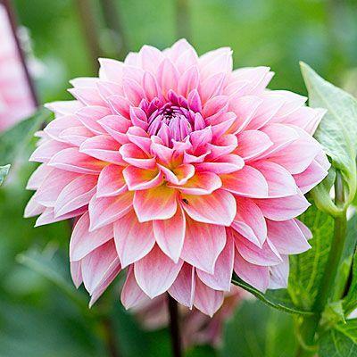 Dahlia - Best Bouquet Flowers to Grow - Sunset