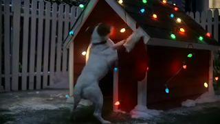 ボストンテリアのカールさんの暮らし: 【かわいい犬動画】「サンタさんまだかなぁ~」ジャックラッセルテリアのクリスマスの夜