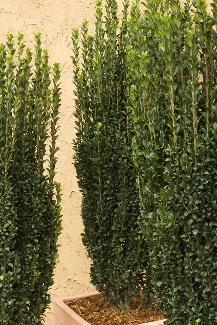 10 images about columnar trees on pinterest privacy trees plants and growing tree for Columnar evergreen trees for small gardens