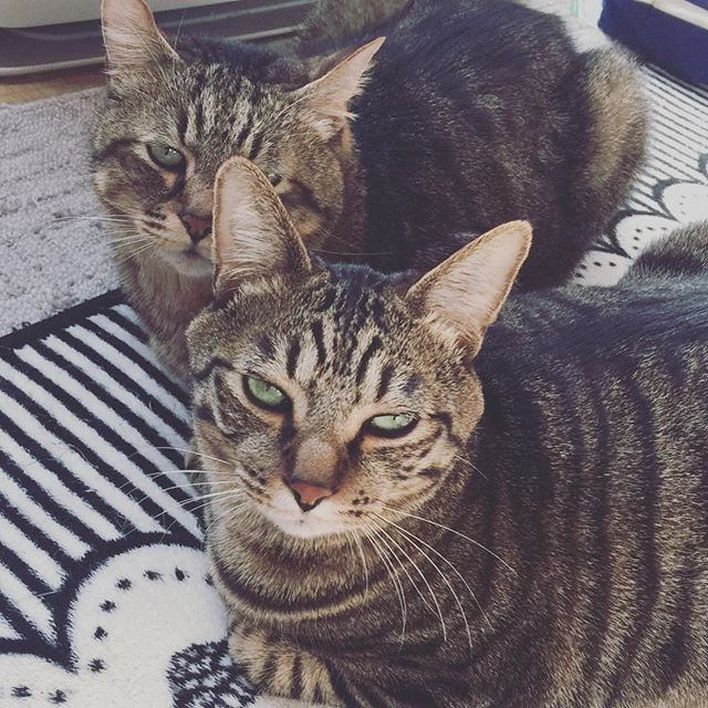 上がタマ 下が小鉄(`・∀・´) 巨大ではないただの同じ柄♡ #猫#ネコ#愛猫#cat