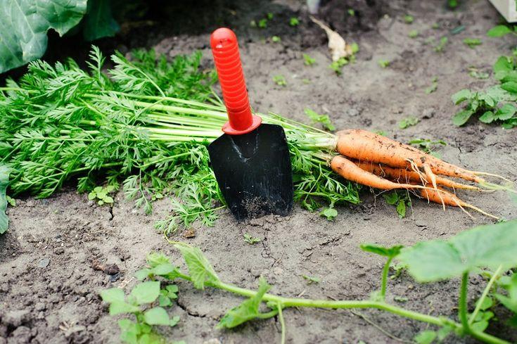 A nyár derekán, június végén, július elején elvégzett másodvetés jelentékenyen megnöveli a kertek termelékenységét. Kétségtelenül több figyelmet, gondoskodást és munkát igényel,...