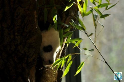 Who doesn't love Pandas? But when a cute little baby is coming out from its crib is even more interesting. For Pandas, head with us to Wien, for visiting Schonbrunn Zoo