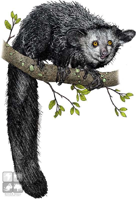 Full color illustration of a Aye-Aye (Daubentonia madagascariensis)