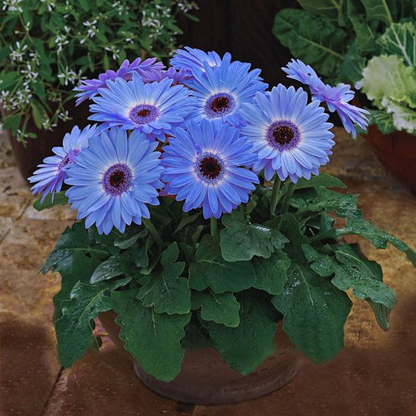 Egrow Egrow 100pcs Pack Gerbera Daisy Seeds Majorette Blue Halo Fragrant Bellis Flower Seeds Newchic Gerbera Daisy Seeds Flower Seeds Gerbera Daisy