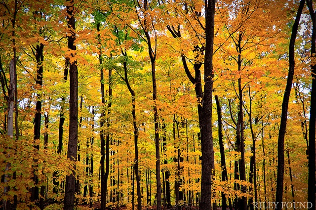 Autumn colour in a forest behind Brock University campus.