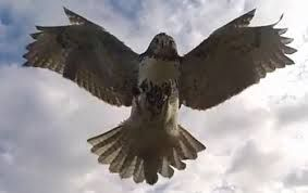 Hawk attacks drone to defend its territory - INFORMATION NIGERIA