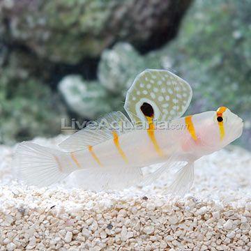 Saltwater Aquarium Fish for Marine Aquariums: Orange Stripe Prawn Goby