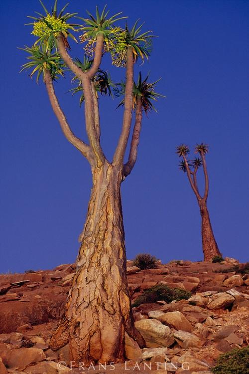 Giant tree aloes at twilight, Aloe pillansii, Richtersveld National Park, South Africa