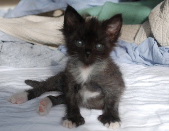 1000 images about black amp white cats kittens on pinterest