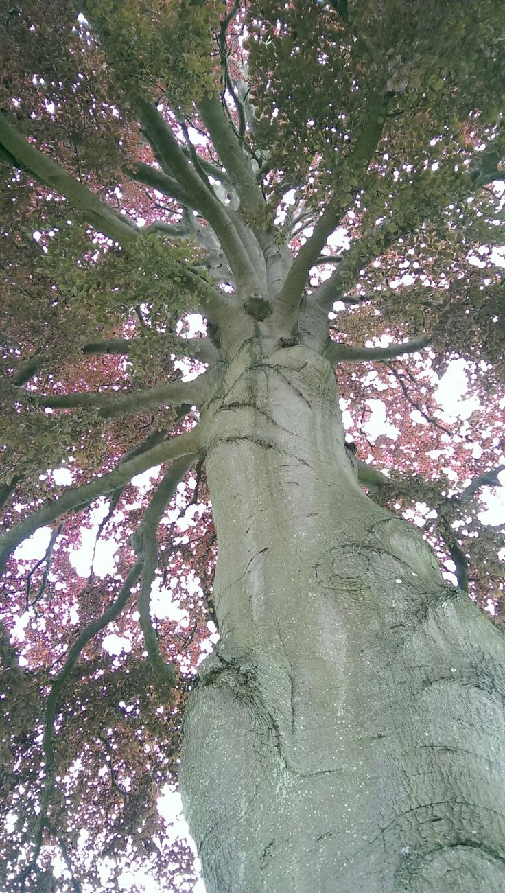 Copper beech. As tall as I've ever seen.