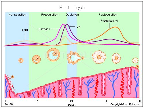 Menstrual Cycle Ppt Powerpoint Drawing Diagrams  Templates