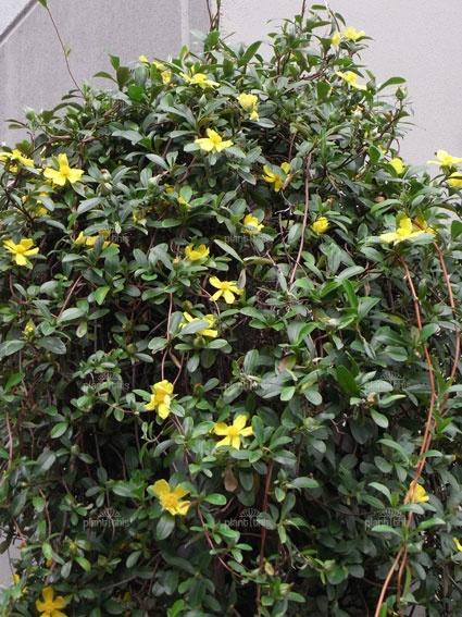 Hibbertia scandens (climbing guinea flower) - native vine