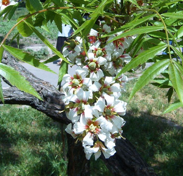 просто полюбили как цветет грецкий орех фото создавать замаскированные