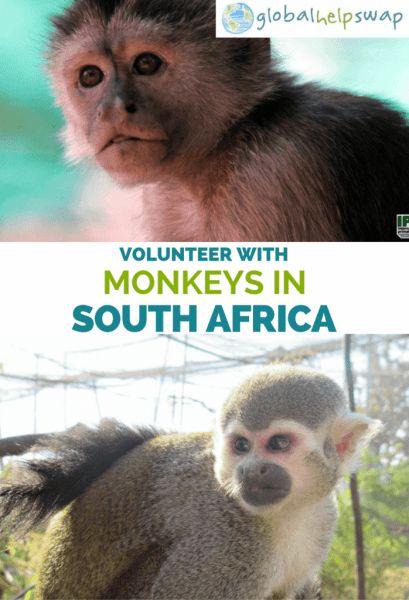 Volunteer with monkeys in South Africa