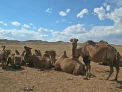 """Ch. 37, """"The camels were laying on their bellies with all four knees buried in the sand."""" - Sand Dunes"""