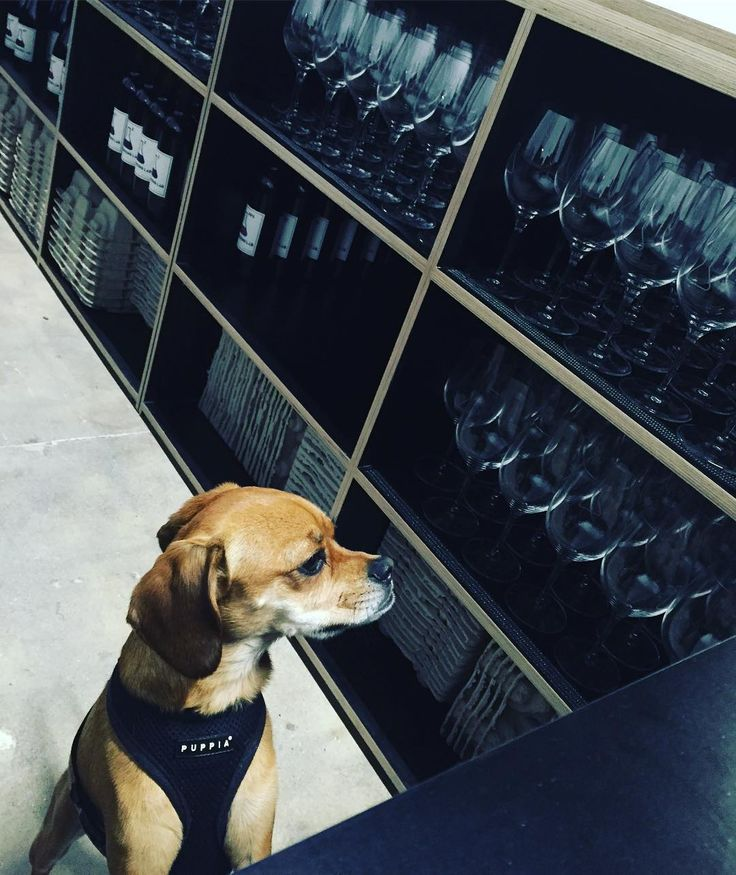 Our #winedog practicing her customer service skills behind our custom bar. @crofthousela brought our vision to life and we could not love the final bar more. Excited for everyone to see the complete product when we open! This is just a sneak peak. More  to come. #wine #winedog #LAwine #winery #winetastingroom # # #cheers #startuplife #3rdstreetlosangeles #LAlove #weloveLA #LAwinery #wineglasses #theblendinglab #dogsofinstagram #winedogsofinstagram