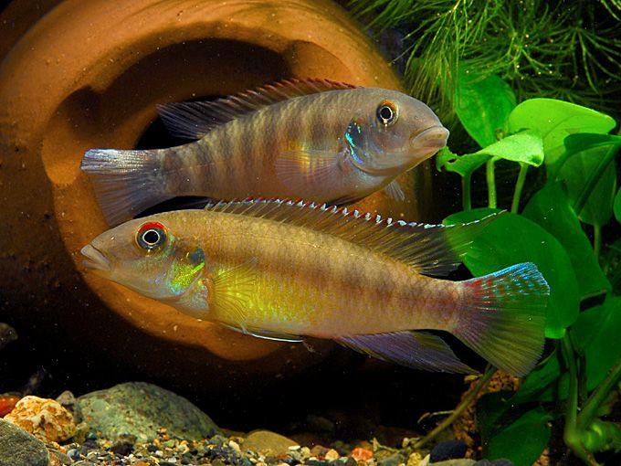 Pelvicachromis fumilis freshwater community cadre for Community freshwater fish