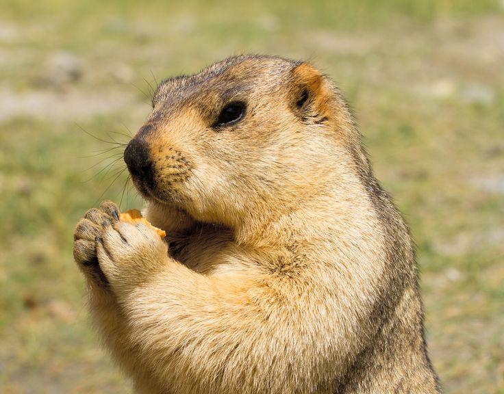 Himalayan marmot (groundhog) by Oleg Ivanov on 500px