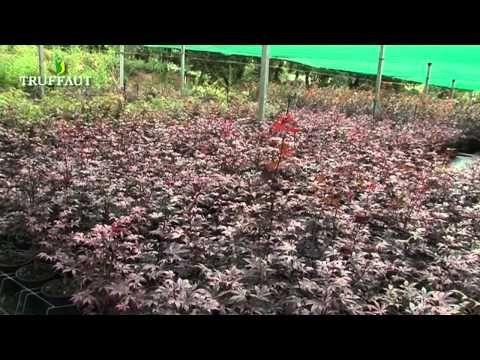 Les 25 meilleures id es concernant taille erable du japon for Bd du jardin botanique 50 bruxelles