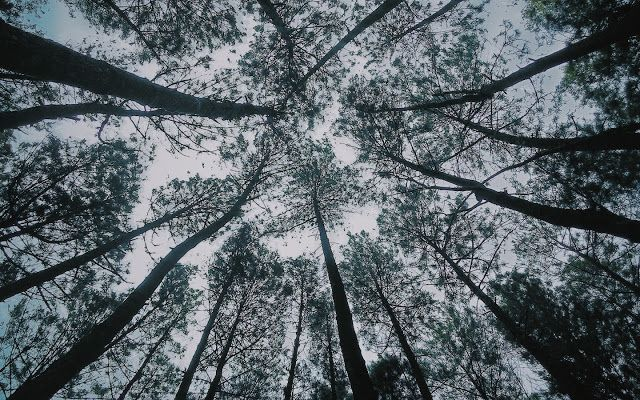 Hutan pinus, imogiri-bantul #Google+ #vsco