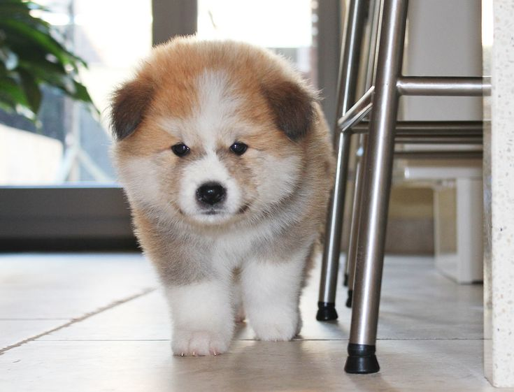 japanse akita inu puppie #hond #schattig
