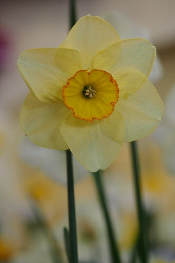 Narcissus 'Best Friend' is a small cupped daffodil cultivar, from Division Three of the Royal Horticultural Society's Daffodil Classification System.